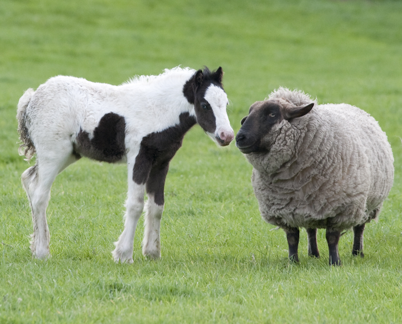 Foal and sheep