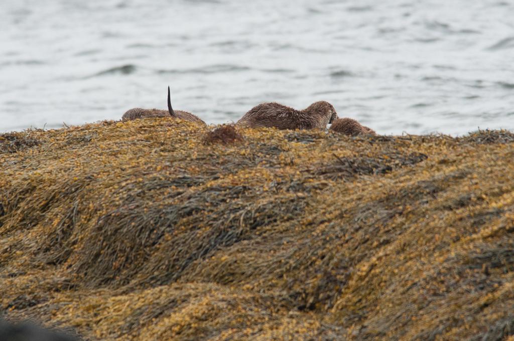 Otters, Isle of Mull