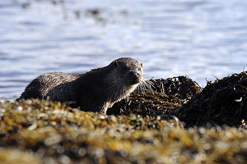 Otter!