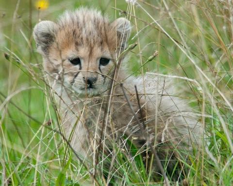 Cheetah – Chester Zoo